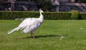 image of peahen  - Beautiful and unusual white peacock wandering around - JPG