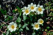 pic of chukotka  - Flowers Dryads spot in the tundra of Chukotka - JPG