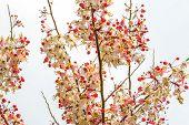 stock photo of cassia  - Wishing tree pink shower cassia bakeriana craib flower - JPG