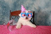 stock photo of bichon frise dog  - Jolie a Pure Breed Bichon Frise dog celebrates her 12th Birthday - JPG