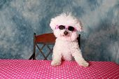 image of bichon frise dog  - A pure breed Bichon Frise is One Cool Cat in her styling Sun Glasses  - JPG