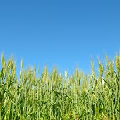 image of fall-wheat  - wheat field and blue sky - JPG
