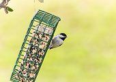 pic of chickadee  - Carolina Chickadee  - JPG