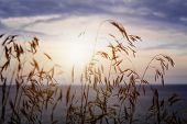stock photo of tall grass  - Tall grass stalks closeup against setting sun over sunset lake and sky - JPG