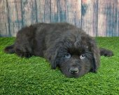 image of puppy dog face  - Cute little Newfoundland puppy laying in the grass with a sad look on his face - JPG