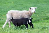 picture of spring lambs  - White mother sheep with two drinking black lambs in spring meadow - JPG
