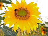 picture of bumble bee  - sunflower with bumble bee in the field at sunset - JPG