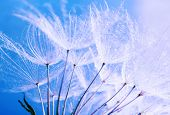 picture of dandelion seed  - Beautiful dandelion with seeds - JPG