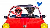 pic of married  - couple of just married jack russell dogs driving a funny car for vacation holidays and honeymoon isolated on white background - JPG