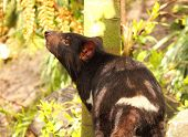 stock photo of endangered species  - A Tasmanian Devil lifting its nose to smell the air - JPG