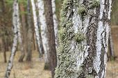 pic of southwest  - Moss on the trunk of an old birch - JPG