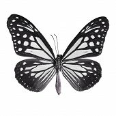 pic of mime  - Black butterflyTawny Mime butterfly in fancy color profile isolate on white background - JPG