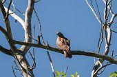 foto of kites  - black kite perched on a dry tree stump - JPG