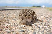 Dead hedgehog on the roadside