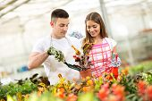 stock photo of crotons  - Couple of gardeners planting and taking care of Croton plant in greenhouse - JPG
