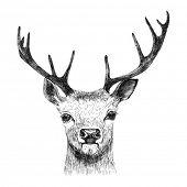 image of black tail deer  -  Hand drawn deer on white background - JPG