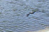 image of alligators  - American alligator easing its way toward shore - JPG