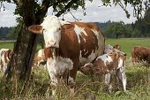 stock photo of calf cow  - mother cow with calf on meadow outside - JPG