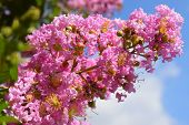 stock photo of crepe myrtle  - unusual inflorescence by pink color of lagerstroemia indica  - JPG