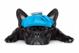 stock photo of suffering  - french bulldog dog very sick with ice pack or bag on head eyes closed and suffering isolated on white background - JPG