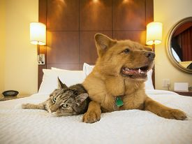 stock photo of tabby-cat  - Cat and Dog together resting on bed of hotel room - JPG