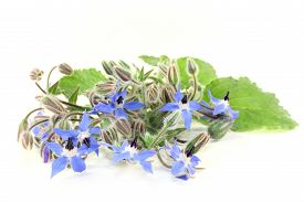 picture of borage  - Borage leaves and flowers on a bright background - JPG