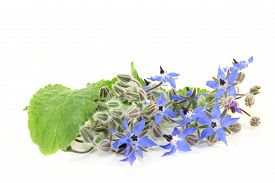 pic of borage  - Borage leaves and flowers on a bright background - JPG
