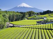 stock photo of mount fuji  - Rows of fresh green tea with Mount Fuji - JPG