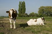 Two brown - white cows in the grass