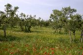 Spring Olive Grove