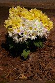 Chrysanthemums Are Mums