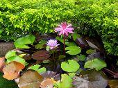 Pink And Purple Lotus