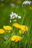 Yellow wild Dandelions and Cuckoo flowers in the grass
