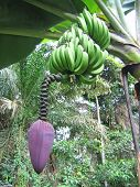 A Banana Tree In The Jungle With The Purple Flower, Cameroon, Africa