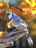 image of blue jay  - A fall image of a Blue Jay (Cyanocitta cristata) sitting atop a piece of wood with fall leaves in the background.