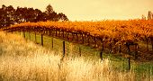 Orange Vineyard in the Barossa Valley