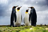 4 King Penguins standing together, Falkan Islands