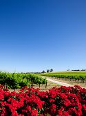 Vineyard and red flowers in the Barossa Valley