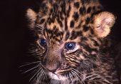 Babyleopardcub
