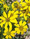 Yellow Texas Wildflowers