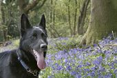 German Shepherd With Bluebells