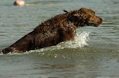 picture of english setter  - english red setter jumping into the water - JPG
