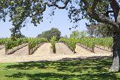 Beautiful oak tree framing wine field