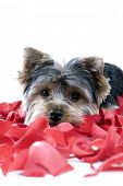 foto of dog-rose  - Adorable Yorkie puppy in rose petals - JPG