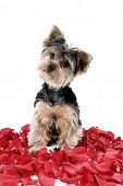 Adorable Yorkie puppy in rose petals