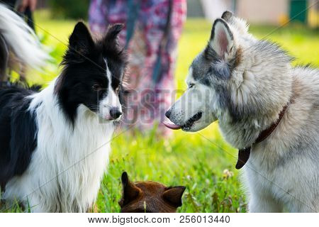 poster of Dogs Play With Each Other. Siberian Husky. Border Collie. Merry Fuss. Aggressive Dog. Training Of Do
