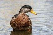 A Mallard Drake During Its Annual Moult poster