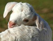 little lamb turning its head