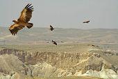 vultures soaring over sede boker desert, israel
