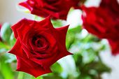 Flowers. Rose. A Beautiful Red Rose. Red Rose Flower. The Garden Rose. poster